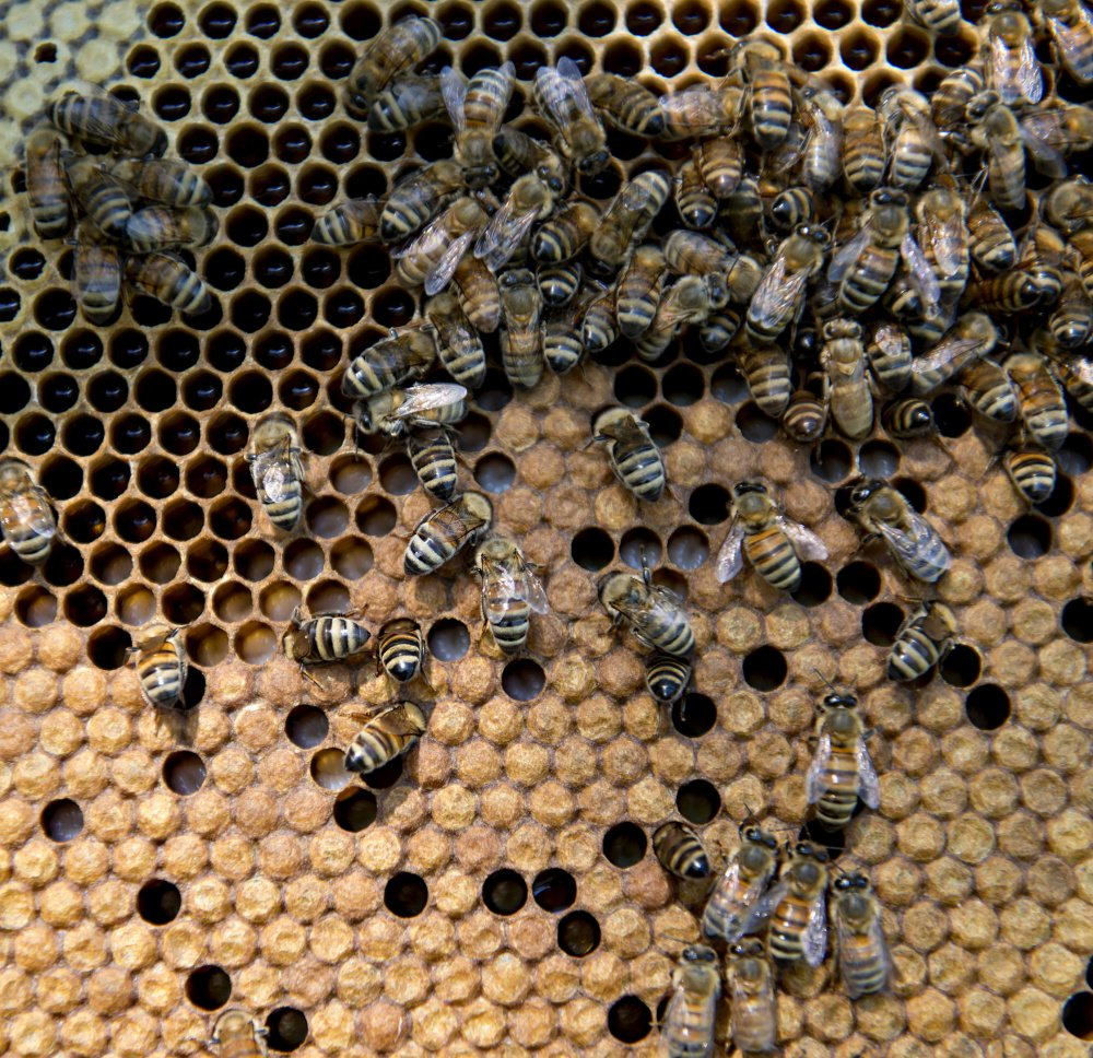 Honey bees climb on the frame of a near Hennepin, Illinois. Bee population numbers are on the rise as a mystery malady has apparently waned.