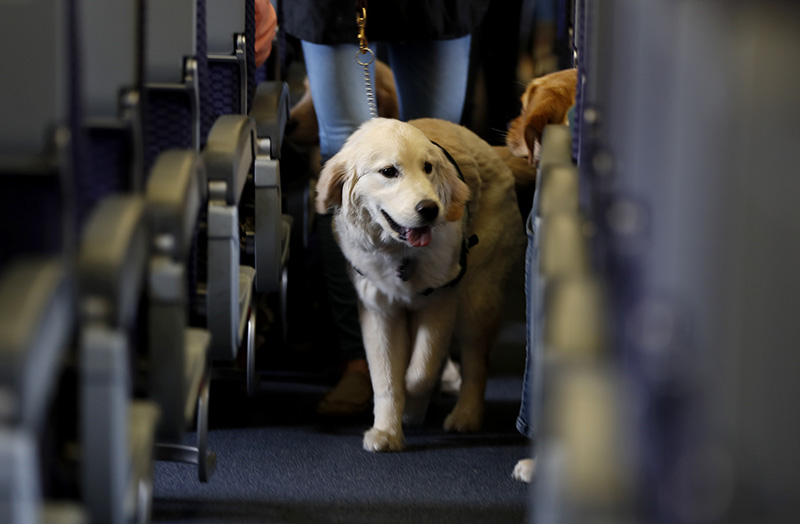 A service dog on a United flight in 2017