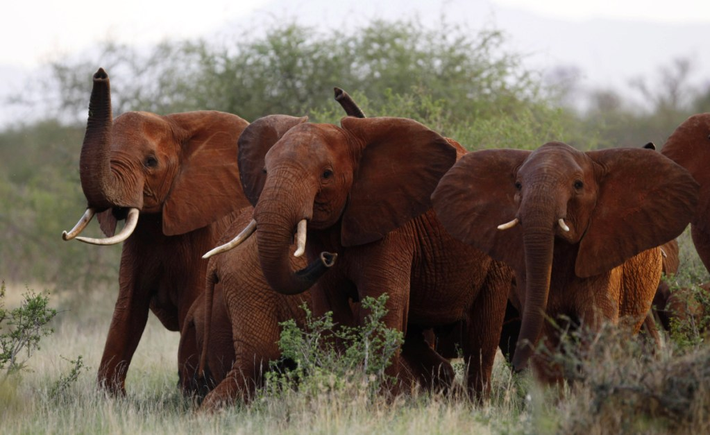 """A herd of elephants travels through Tsavo East National Park in Kenya in 2010. The Trump administration is again allowing Americans to import the body parts of African elephants shot for sport, despite presidential tweets last year decrying the practice as a """"horror show."""""""