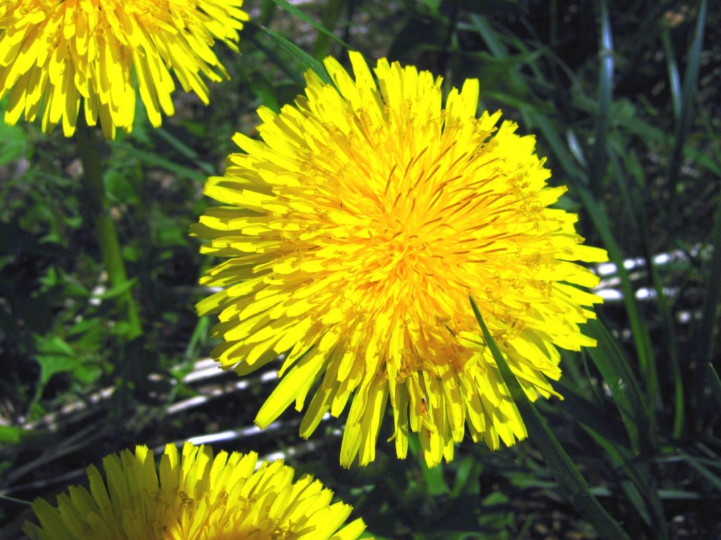 Dandelions are like little lawn suns. Everything in the yard knows what to do.