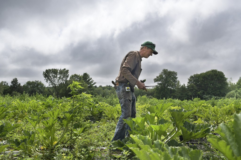 Tom Fair harvests zucchini Tuesday at his family's farm in Litchfield. Fair said he has been hydrating produce this summer to combat dry conditions to enable vegetables to ripen for the farm stand at Applewald Farm. A relief to most farmers, rain is in the forecast this week, according to the National Weather Service.