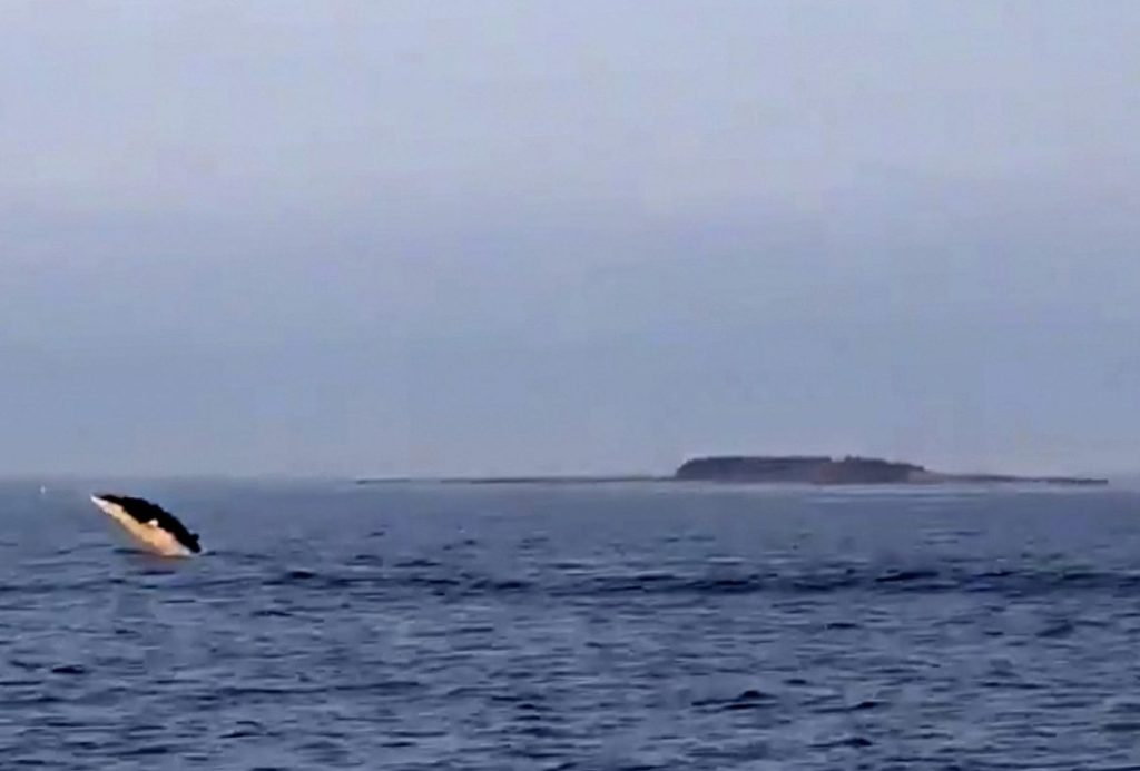 A still from lobsterman Steve Train's video shows one of the minke whales off Two Lights State Park on Aug. 17.