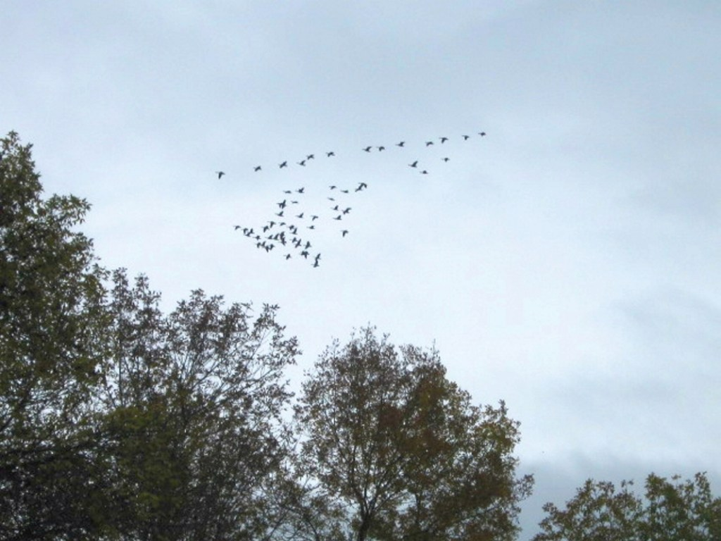Canada geese over Unity.