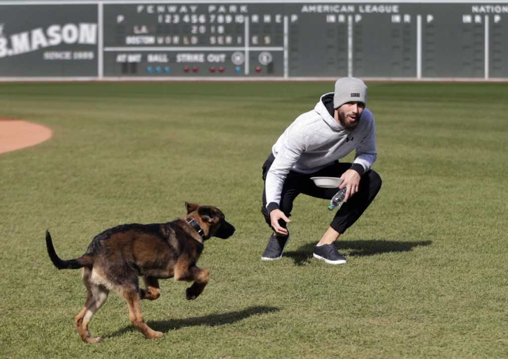 Boston pitcher Rick Porcello plays with his four-month-old puppy, Bronco, during a baseball workout at Fenway Park on Sunday in Boston. Bronco's father is a service dog named Drago who belongs to head groundskeeper Dave Mellor.