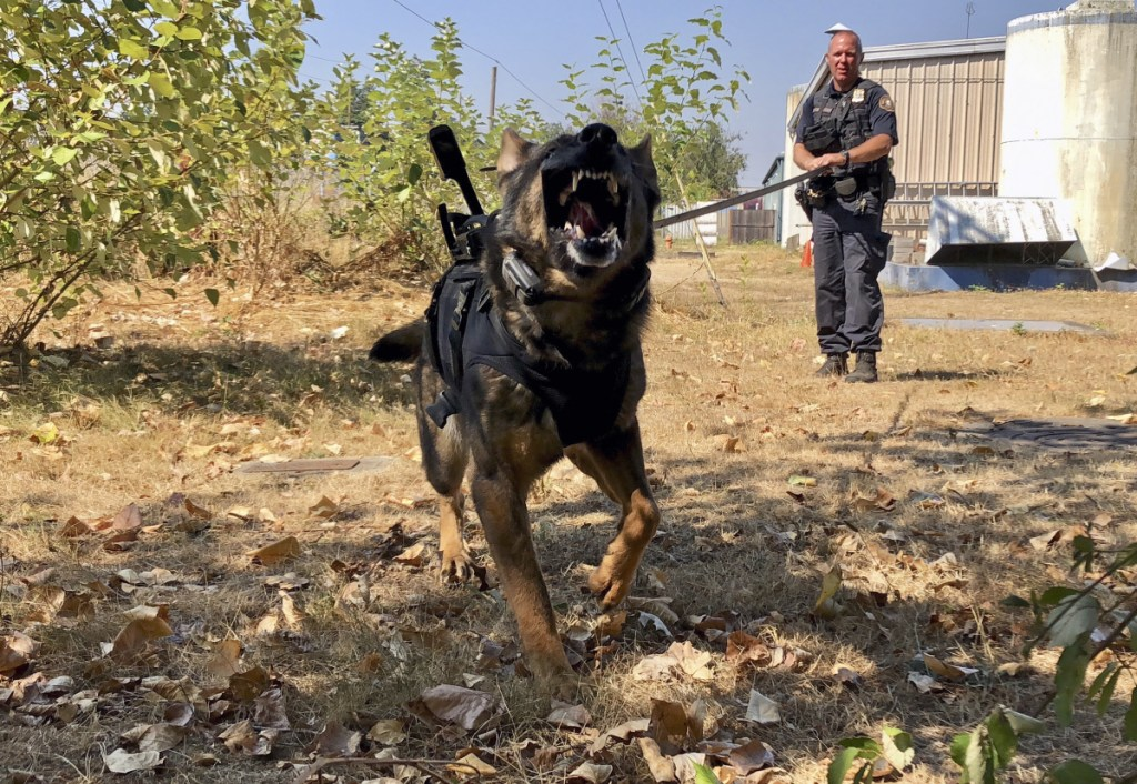 Police K-9 Officer Shawn Gore gives commands to police dog Jasko, in Portland, Ore. Jasko is wearing a new canine body camera on his back that Gore is testing out for the Portland Police Bureau, which currently outfits 10 dogs with body-worn cameras.