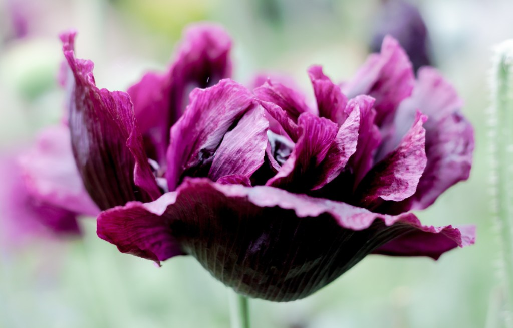 """Blossoming """"Black Peony"""" poppies brought beauty to the Maine Gardener's little corner of Maine in July, but a """"Danish Flag"""" variety failed to thrive."""