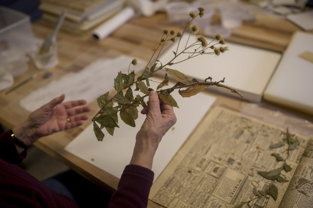 Susan Wall transfers a specimen of Canadian hawkweed collected in August 1949 from Norway, Maine, to archival paper in the herbarium at Coastal Maine Botanical Gardens. Herbarium collections can help scientists track climate change and guide conservation decisions.