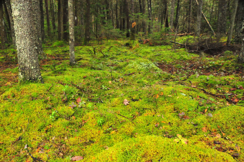 Moss flourishes under evergreens at Coastal Maine Botanical Gardens in Boothbay.