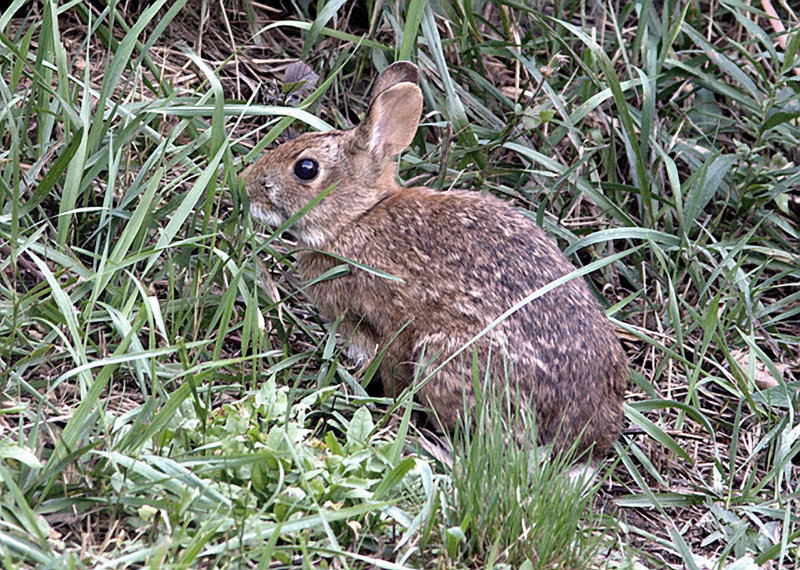 The state wants Cape Elizabeth to set aside land elsewhere for the New England cottontail to make up for what was lost in the park.