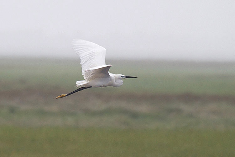 Doug Hitchcox, a naturalist with the Scarborough Marsh Audubon Center was the first to identify the Little Egret while leading a birdwatching walk early Wednesday morning.