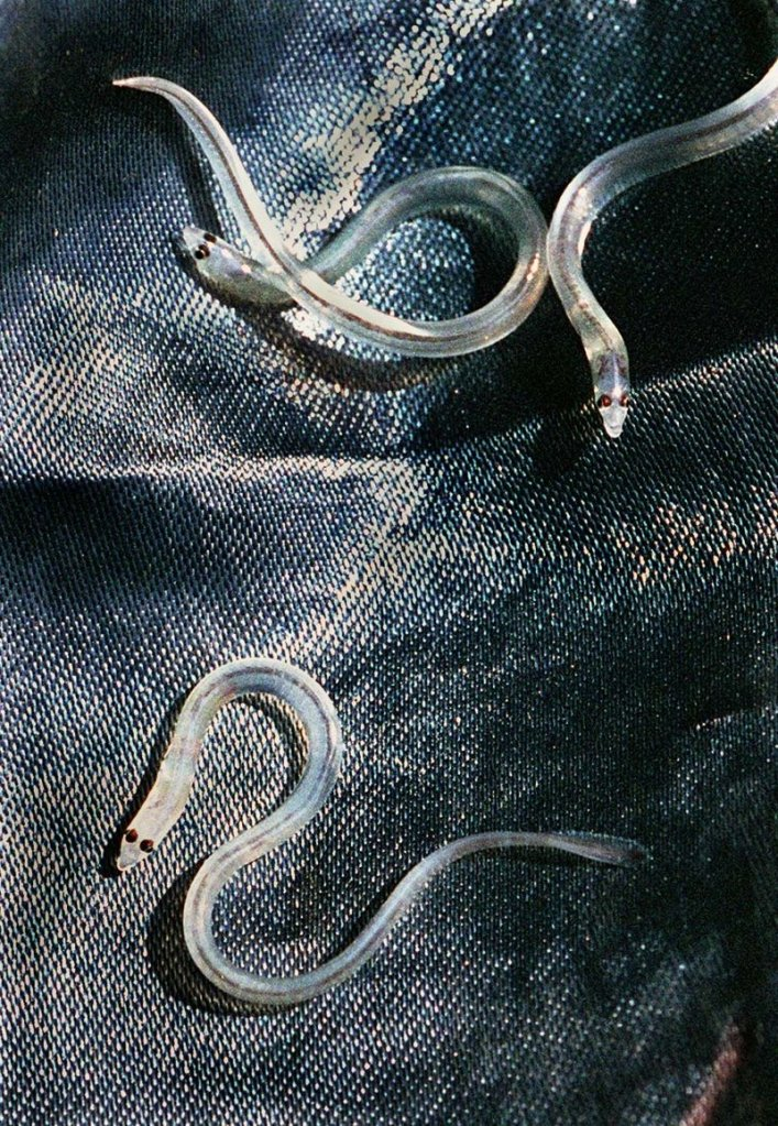 Elvers, also known as glass eels, are between 2 and 3 inches long. They're sought after by aquaculture farms in Asia.