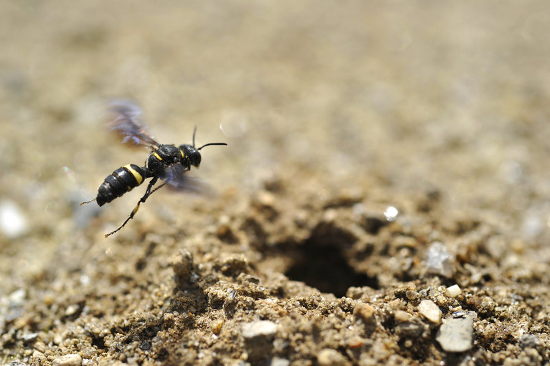 The Cerceris fumipennis wasp, which is native to Maine, was found nesting Wednesday at a Freeport baseball field.