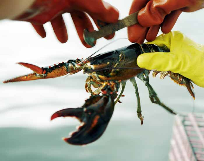 In this Aug. 24, 2009 file photo, a lobster is measured off of Cundy's Harbor, Maine, to determine whether it is of legal size to keep. A new law takes effect Tuesday, Nov. 22, 2011, allowing Maine lobster companies to process out-of-state lobsters that are larger than Maine's legal maximum size. Most of the oversized lobsters come from Canada, where dealers send large shipments of ungraded lobsters to Maine processors in winter and spring. (AP Photo/Pat Wellenbach, File)