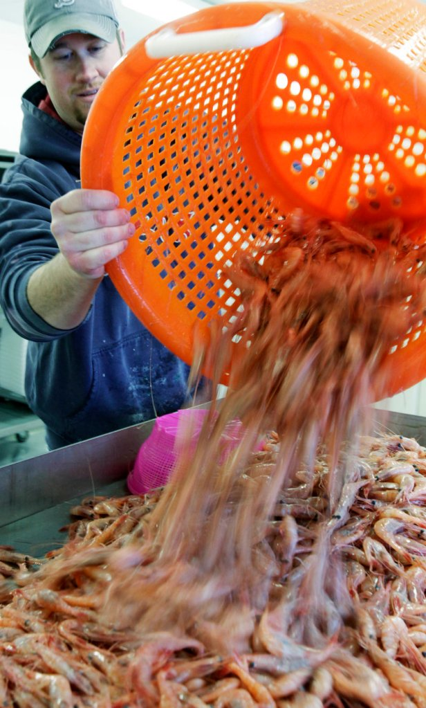 Nat Winchenbach, right, pours freshly caught shrimp onto a processing table in St. George last February. Gulf of Maine shrimp fishermen will have a catch limit of 4.4 million pounds this season, down from 13 million pounds in 2011. The new season begins Monday.