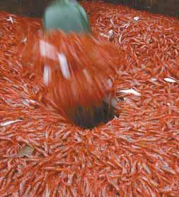 SHRIMP ARE SHOVELED into a holding chamber aboard a trawler.
