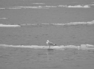 A GULL stands atop a strip of ice in the Kennebec River in Bath on Tuesday.