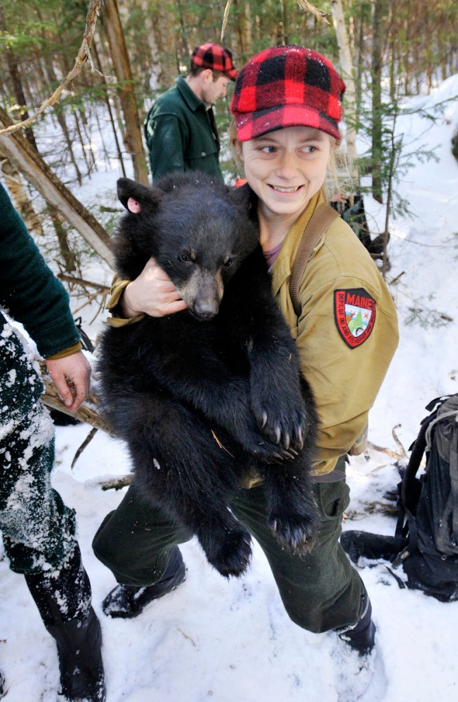 Lisa Bates, a biologist with the Maine Department of Inland Fisheries and Wildlife, carries a tranquilized yearling back to its den earlier this month while doing research on black bears in Washington County. The department typically visits about 100 dens each winter.