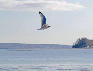A GULL soars above coastal waters in Brunswick on Monday.