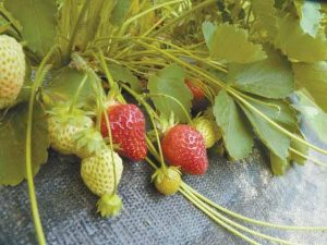 STRAWBERRIES RIPEN on the vine in Bowdoinham. A National Weather Service forecast that predicts sunny days through at least Sunday should expedite the ripening process.