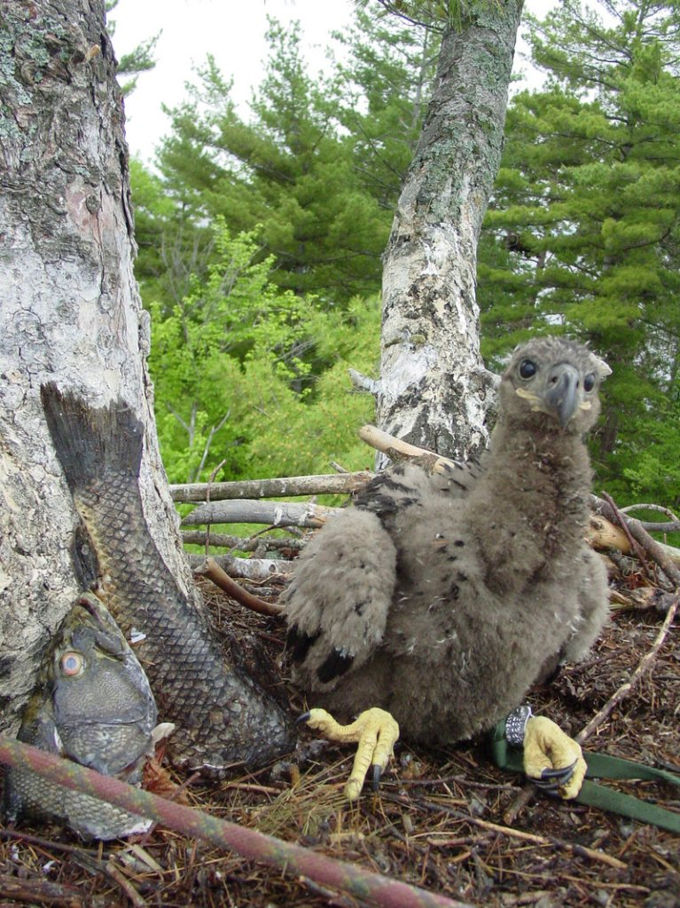 By studying birds such as this juvenile bald eagle, scientists hope to glean information about environmental health.