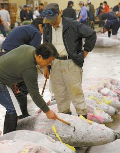 THIS PHOTO SHOWS whole tunas being inspected at the Tsukiji fish market in Tokyo.