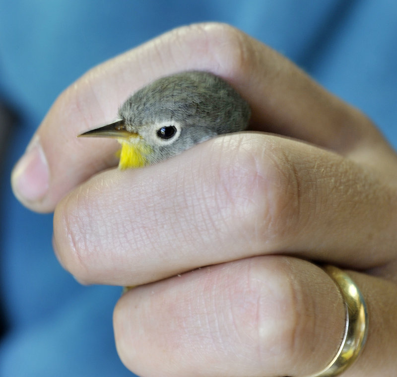 Biologist Kevin Regan holds a Nashville warbler that had been netted and was being banded before its release.