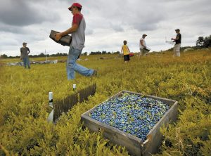 WORKERS HARVEST wild blueberries at the Ridgeberry Farm in Appleton. Maine's wild blueberry growers for the most part escaped widespread damage from a harmful new fruit fly during the 2013 summer harvest, resulting in what is expected to be an above-average crop. See story, page A3.