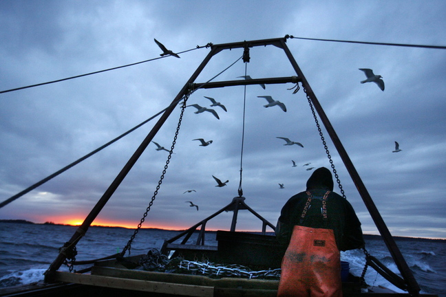 In this December 2011 file photo, gulls seeking scraps follow a fishing boat where sternman Josh Gatto shucks scallops on the trip back to shore off Harpswell, Maine. Maine scallop fishermen are kicking off their 2013-14 season with highest prices in recent memory.