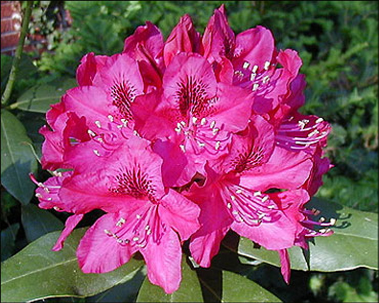 The glossy leaves of the 'Nova Zembla,' one of the large-leafed rhododendrons, nicely frame its flowers. Courtesy photo