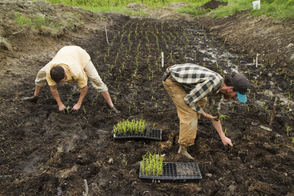 David Gulak and Ben Rooney, co-owners of Wild Folk Farm in Benton, plant a small rice paddy late last month. Their work, which is funded by a $5,000 grant from the Libra Future Fund, is the first commercial rice venture in Maine, and Gulak and Rooney hope to share what they learn with others who are interested in growing the crop here. Carl D. Walsh/Staff Photographer