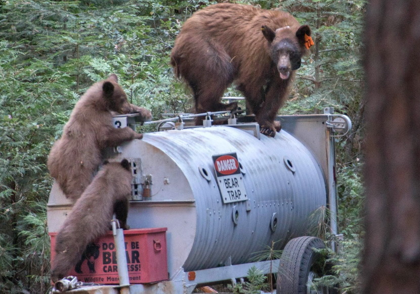A black bear and her cubs, apparently attracted to the scent of an inactive bear trap, climb around the trailered device in Yosemite National Park in August. The park, which at one time had a significant problem with bears breaking into cars, has used an ambitious campaign to train campers in bear awareness, and also make bears more wary of humans.