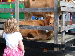 A LITTLE GIRL looks at an 11-month old calf from Peace of Heaven Farm during Celebrate Bowdoinham in 2013.