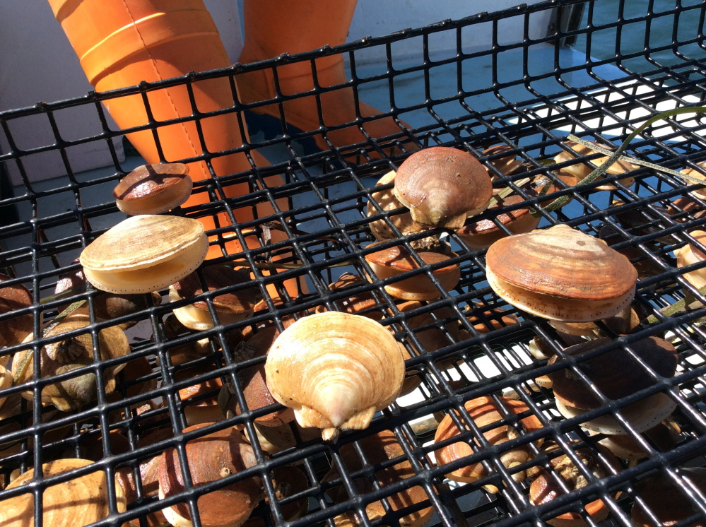 Aquaculturist Nate Perry grows scallops at Kettle Cove in Cape Elizabeth under a grant to develop a product for Maine restaurants. They are smaller than the meaty dayboat and diver sea scallops that started coming to market last week.