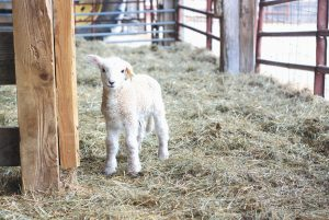 LAMBS AT WOLFE'S NECK FARM in Freeport, as seen on Tuesday, are a sure sign of spring. There are 12 lambs at the farm, with more expected. Kids — baby goats — are also due any day now. The other kind of kids — human children — will be coming to the farm soon for April Vacation Camp, beginning April 20. The camp is open to students grades 1-5 and will include bird watching, the exploration of creeks and vernal pools, planting, and working with the lambs and other animals. Wolfe's Neck Farm is a 626-acre nonprofit demonstration farm with four miles of ocean front, and open to the public year-round.