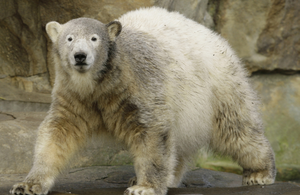 Hand-reared as a cub by a zookeeper, Knut was a popular attraction at Berlin Zoo. He drowned in 2011.