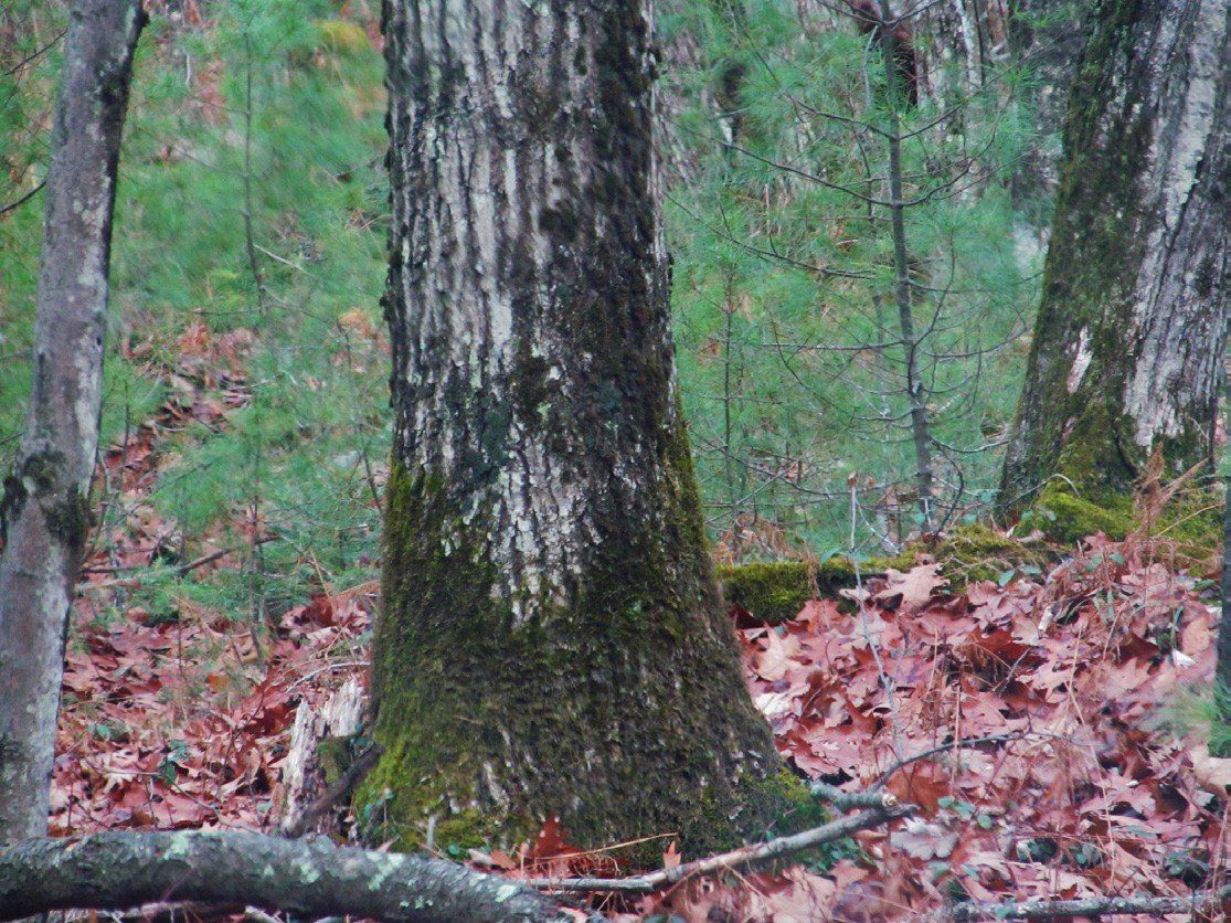 Moss at the base of a tree may indicate an underlying illness.
