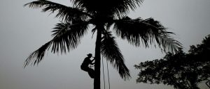 A VILLAGER climbs down from a coconut tree after picking up fresh coconut in Bhubaneswar, India. Coconut trees are no longer considered trees in the tropical Indian state of Goa, where authorities have reclassified them in order to clear the way for unfettered felling.