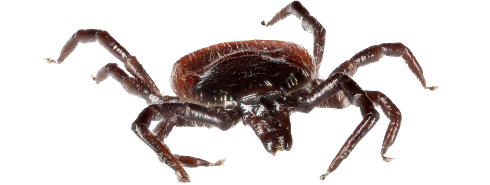Deer ticks are in reality tiny, but the fact that they transmit diseases make them loom large for many people.