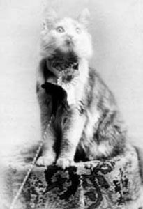 COSEY, winner of the first cat show in the United States, in this 1895 public domain photo.