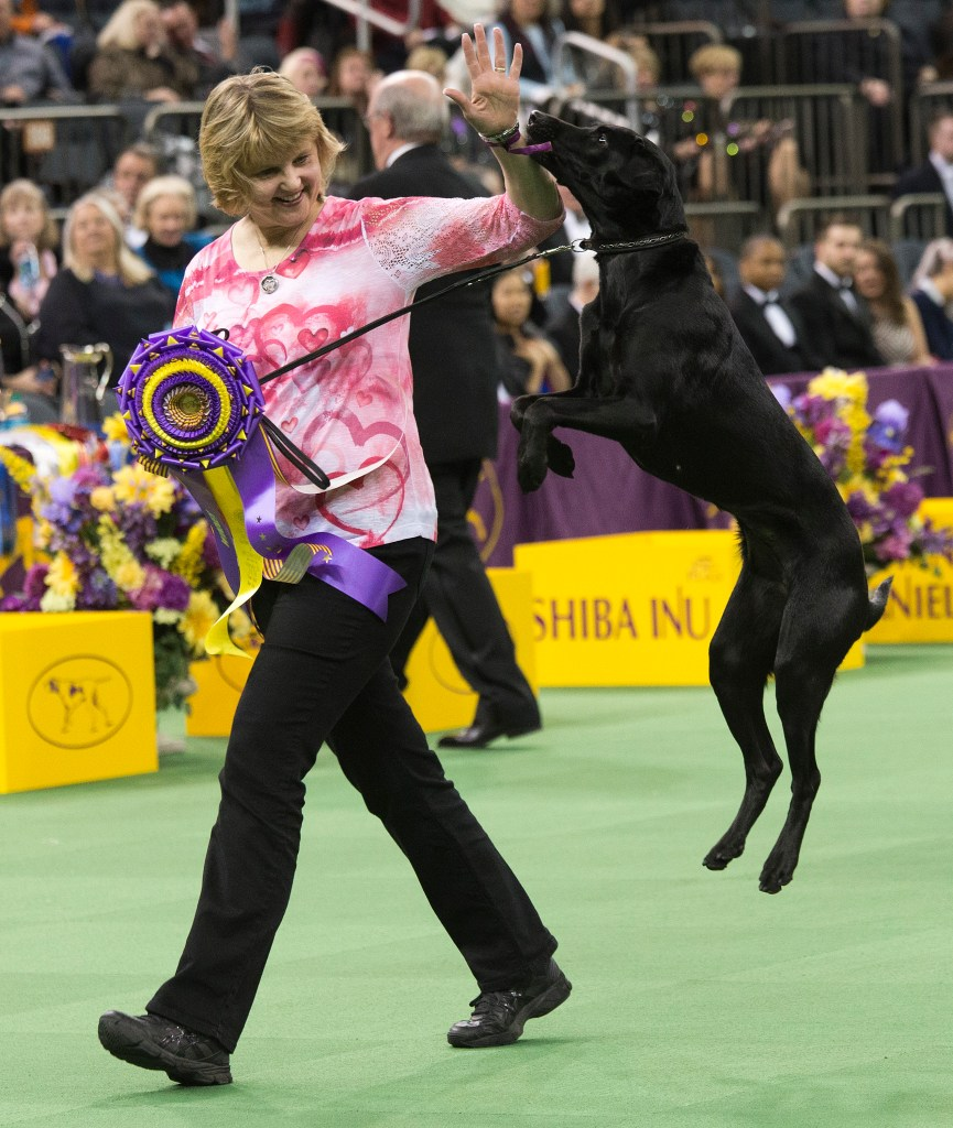 Labrador retriever wins first Westminster obedience competition