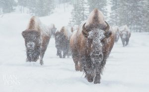 BISON WALK THROUGH SNOW in this photograph taken in Yellowstone National Park by Juan Pons