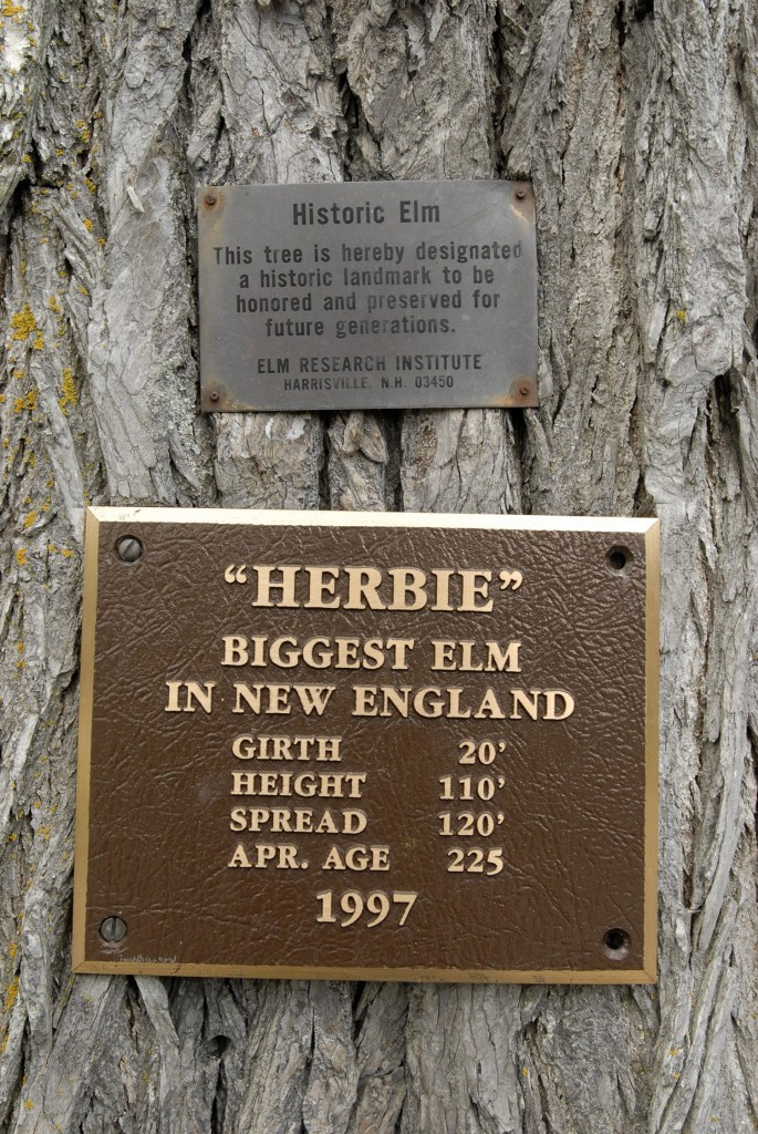 "This plaque is attached to the trunk of an elm tree called ""Herbie"" that 100-year-old Frank Knight of Yarmouth has taken care  for the past 77. The tree is located at the corner of Yankee Drive and Route 88 in Yarmouth."