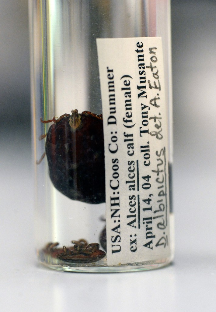 Moose ticks in a container at Maine Medical Center Research Institute in Scarborough on April 7, 2016.