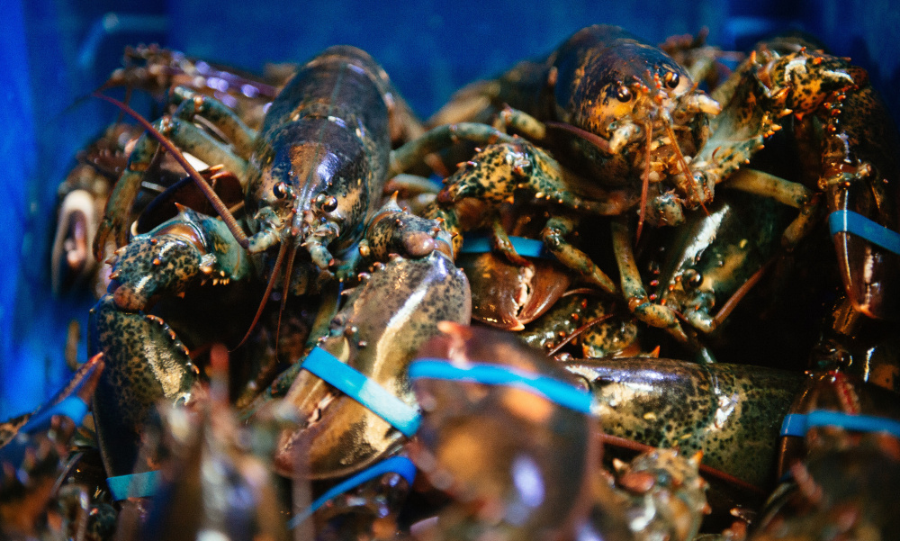 North American lobsters, also known as Maine lobsters, crowd a food bin at the Burger & Lobster restaurant in Stockholm, Sweden. Chef Anders Westerholm says the imported crustaceans are highly prized at European restaurants and advocates against an all-out ban.