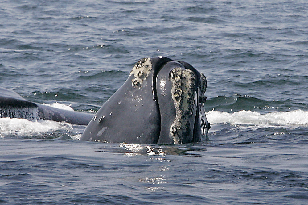 A right whale peers up from the water in Cape Cod Bay near Provincetown, Mass. The National Oceanic and Atmospheric Administration has designed a mobile phone app to help mariners steer clear of endangered whales.