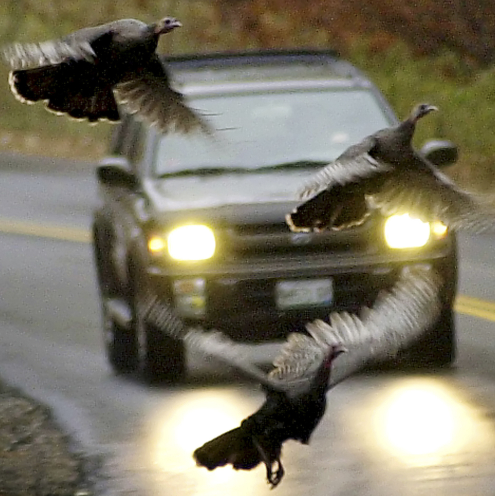 Wild turkeys fly in front of a moving car along a road.