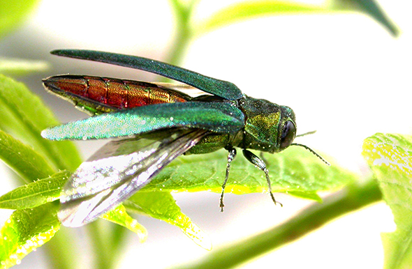 The emerald ash borer has been found in Maine, as long expected.