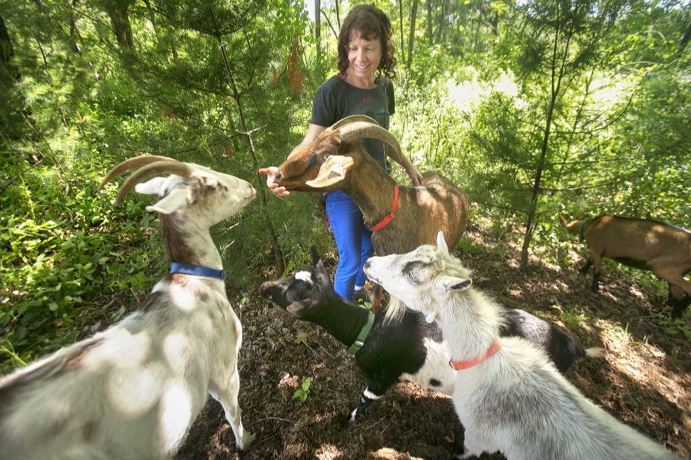 "Heather Lombard checks in on her goats while they clear unwanted vegetation at a Kittery home. Lombard's business, Scapegoats, brings the voracious herd on site to rid customers' yards of overgrown weeds. ""It's a natural alternative to herbicides and gas-guzzling equipment,"" she said."