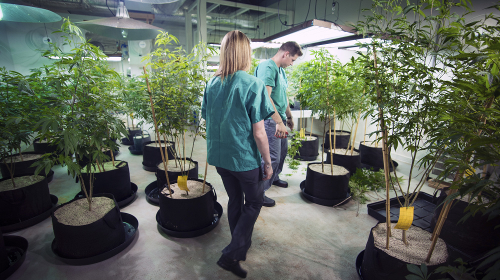 Caregivers Stephanie Caron and Brett Messer of Brigid Farm tend to marijuana plants inside their Saco business.