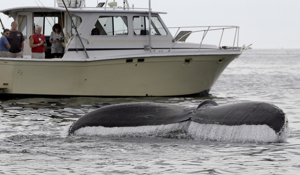 A humpback whale breaches off the coast of Gloucester, Mass. Federal authorities say international efforts to protect the whales helped achieve 'a true ecological success story.' Associated Press/Elise Amendola)